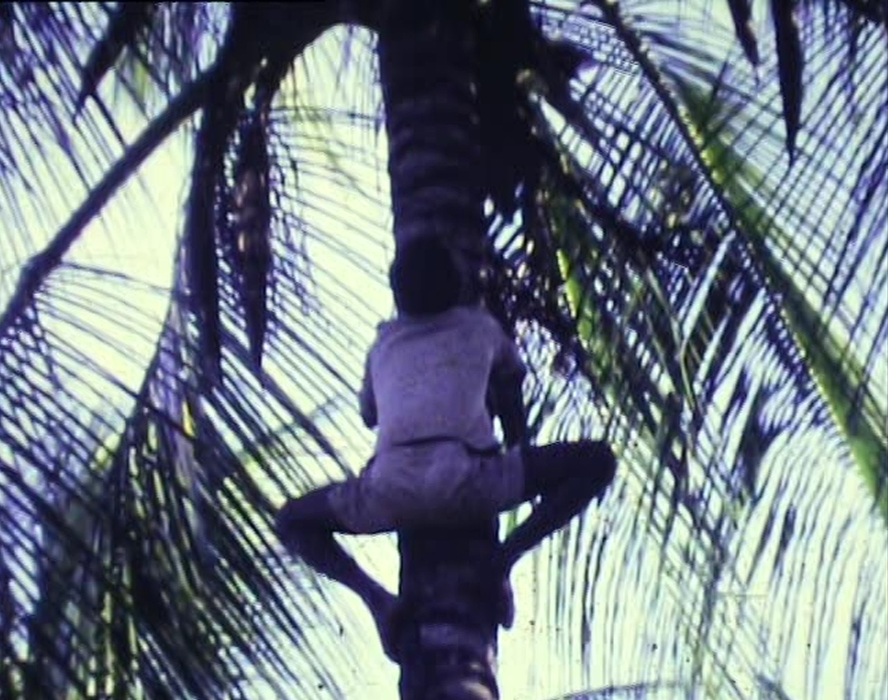 p 37 - Climbing for coconuts